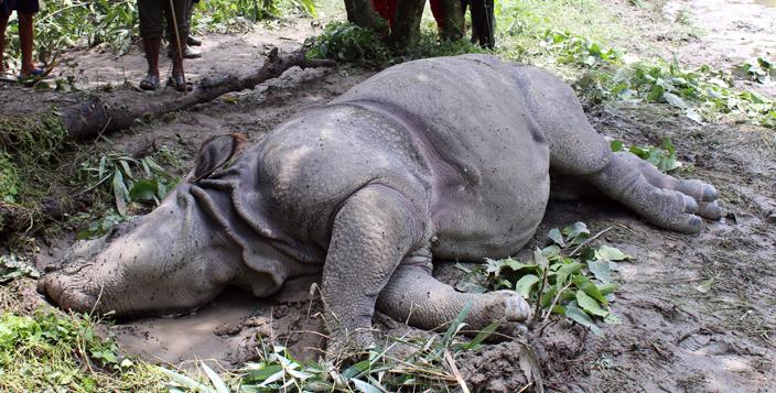 Two-year rhino found dead; death tally reaches 25