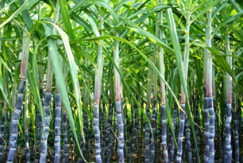 गुलियो चिनीको तितो यथार्थताः कम भन्सारको मारमा चिनी उद्योग र किसान
